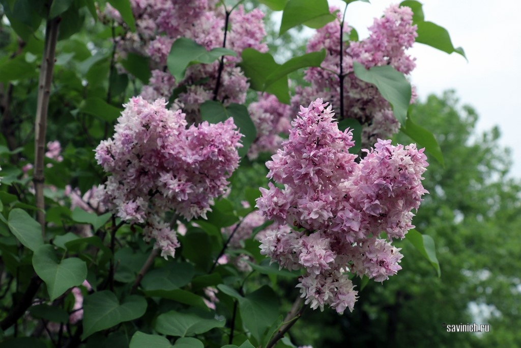 Сиреневый сад Леонида Колесникова